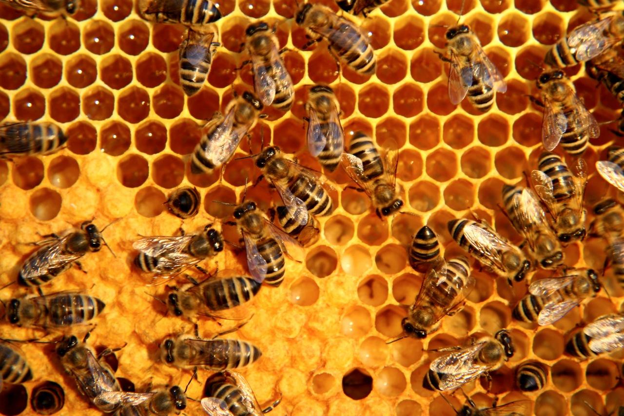 Apiterapia. Miód, propolis, pyłek, mleczko, pierzga, jad i wosk jako pszczele środki lecznicze KOMPENDIUM