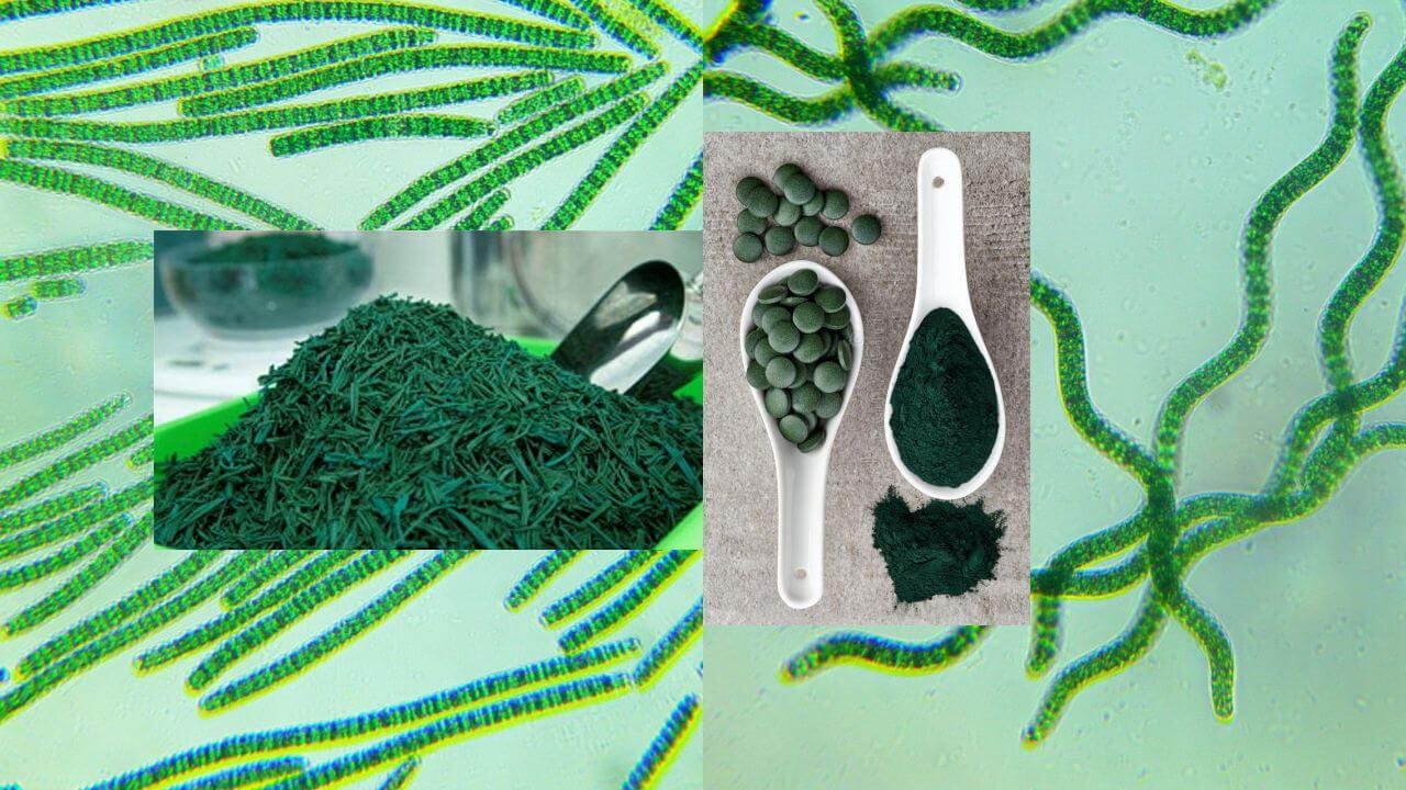 Spirulina platensis, pacifica. Kompletny zielony pokarm białkowy. Praktyczna charakterystyka