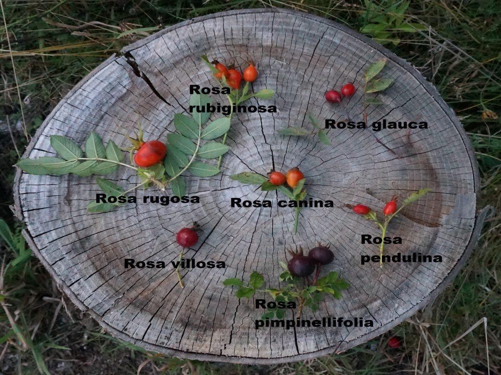 Dzika róża. Odmiany