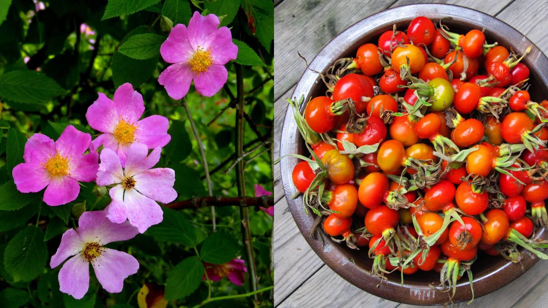 Dzika róża. NAJLEPSZA bo NATURALNA witamina C w wysokiej dawce i to za DARMO (!)