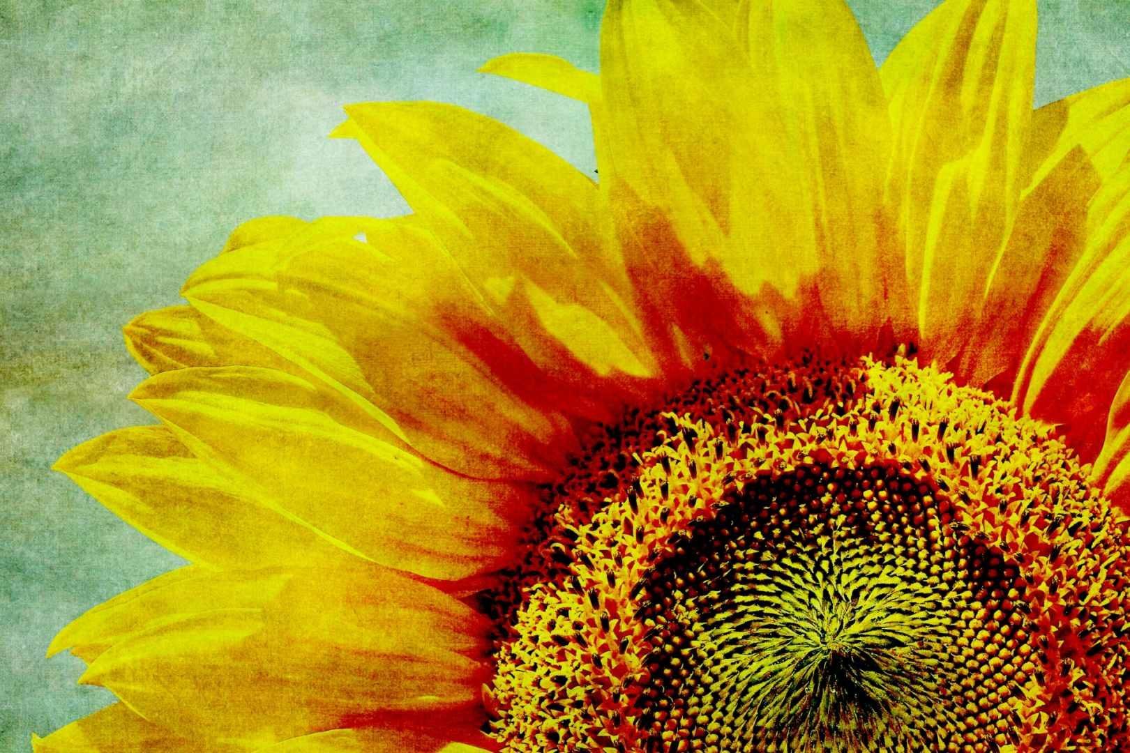 Słonecznik. Omega-6 i witamina E w najlepszej naturalnej formie