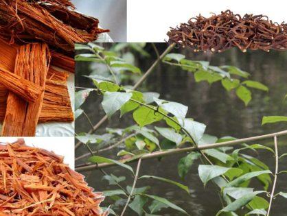 <i>Vilcacora</i> Czepota puszysta. Jedna z najsilniejszych roślin proodpornościowych